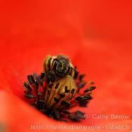 L'abeille et le coquelicot