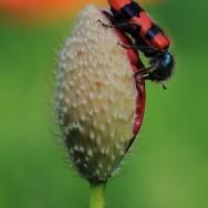 Clairon (coléoptère)