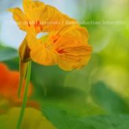 Fleur jaune de capucine