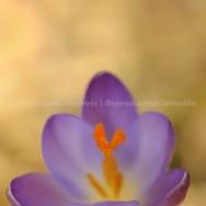 Aquarelle photographique de printemps: fleur violette