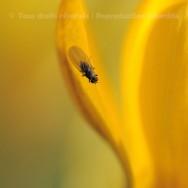 Une mouche sur un pétale de crocus jaune