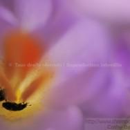 Petits coléoptères noirs (méligèthes) dans un crocus