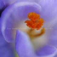 Fleur de crocus floue aquarelle