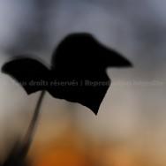 Lierre noir